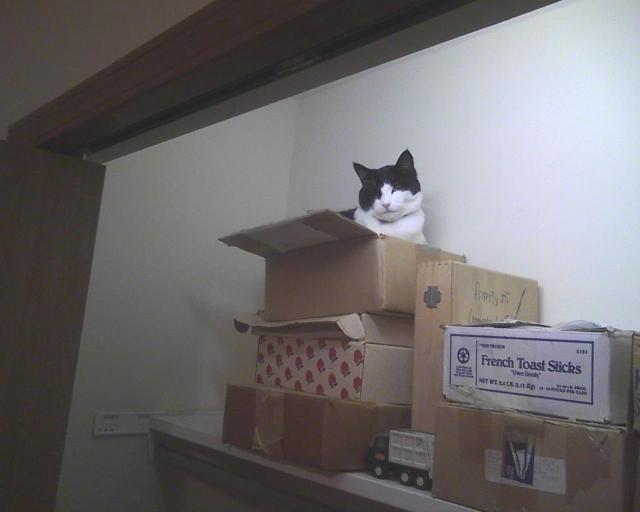 cat in stack of boxes