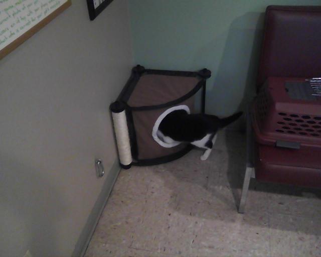 tuxie cat exploring toy