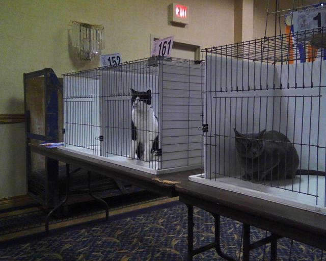 Parker in cat show Ring 6