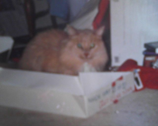 Sandy Cat in a Christmas Box