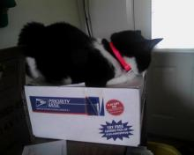 cat in Priority Mail box