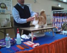 cat in ring at cat show