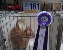 orange household cat with rosette