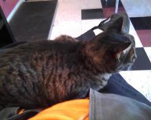 tabby cat on a lap