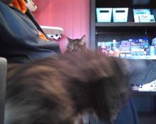 cat standing up to confront lap cat