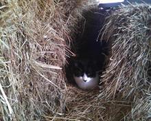 tuxedo cat between hay bales