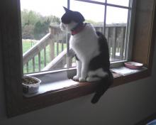 cat looking out the window