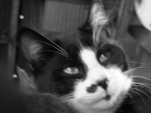 cat face in black and white