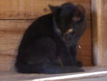 black kitten with golden eyes