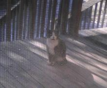 grey tuxedo outside feral cat