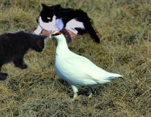 cats and ptarmigan