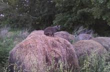 cat on hay bsle