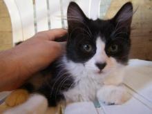 Schwarzie, a tuxedo cat with a black nose