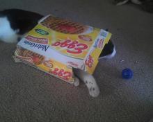 cat coming through a box