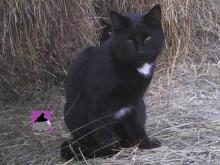 black cat with two white ruffles