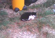 tuxedo cat on farm