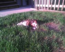 calico cat in grass
