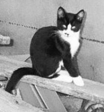 Tuxedo cat sitting on a board