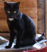 Truffles black cat
