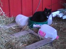 black cat sitting in water bowl